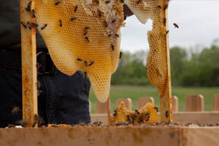 44_coffin_bees-making-honey2